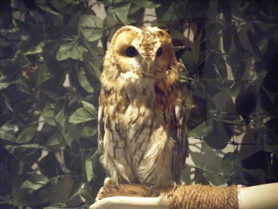 モリフクロウの「はな」さん、30cmくらいかな?二番目におっきい。