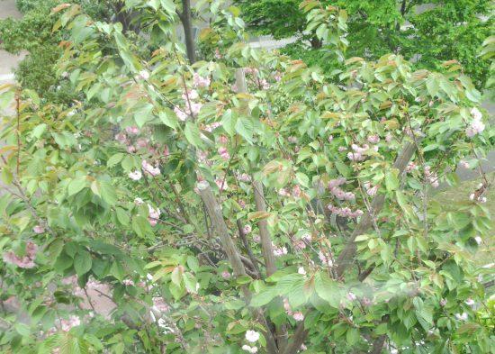八重桜だよねぇ? ・・・葉桜。